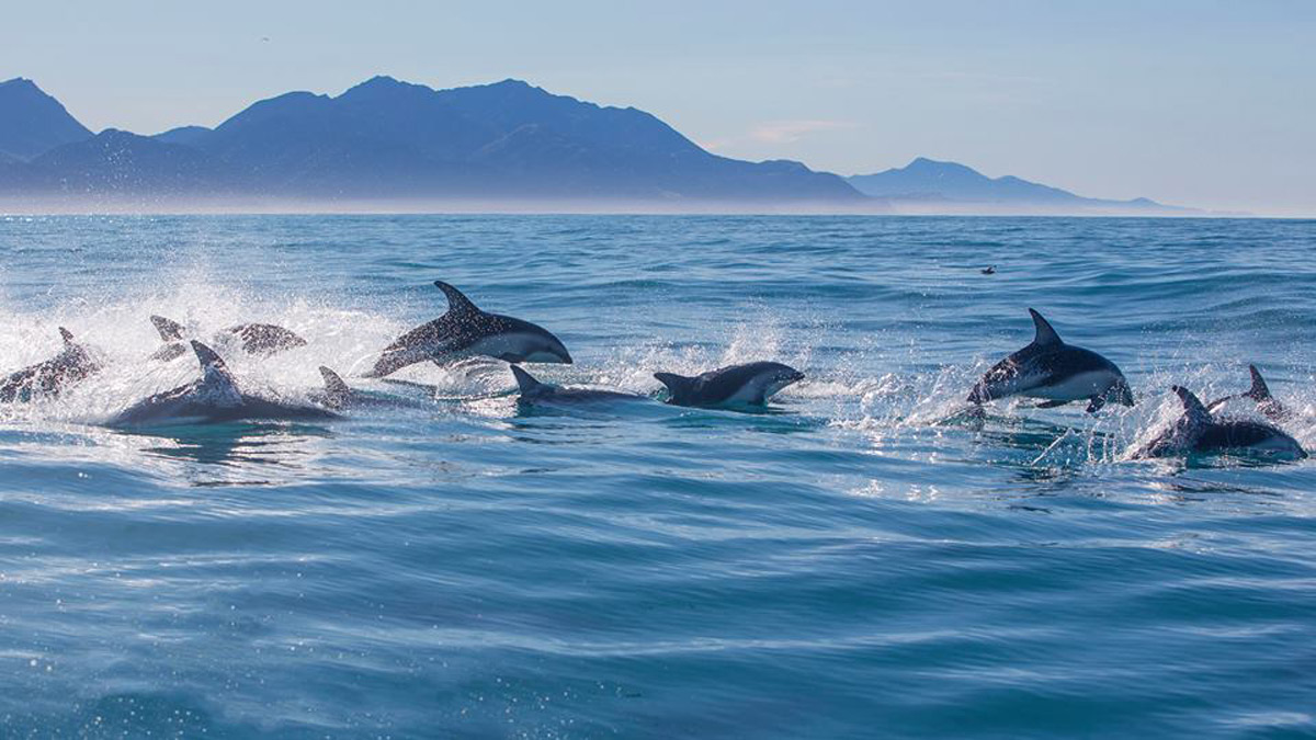dolphins swimming in kaikoura