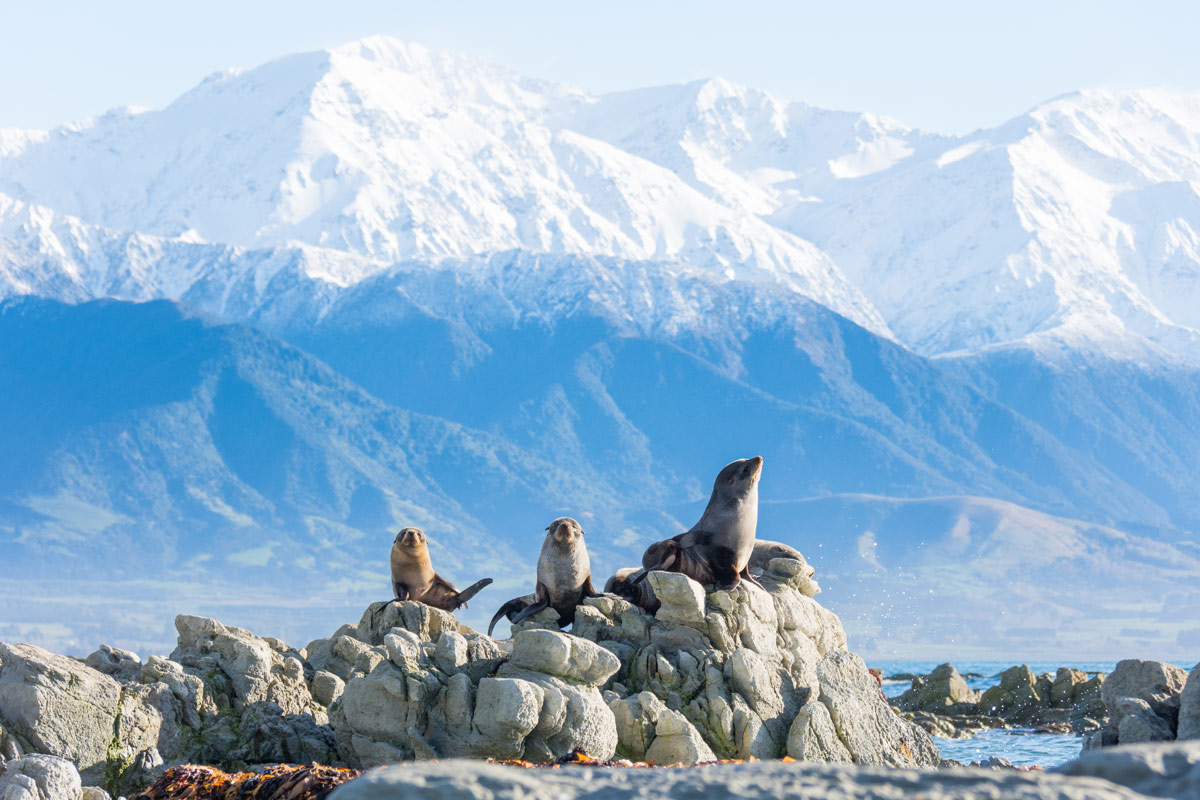 seals on rocks in Kaikoura, new zealand