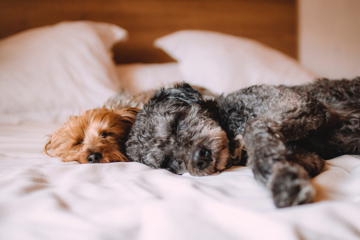 dog friendly vacations, dog friendly hotel, dogs sleeping in hotel