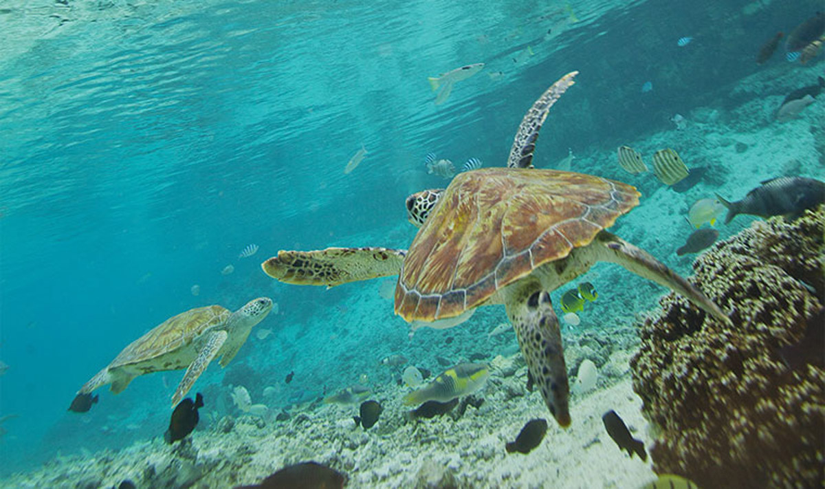 snorkeling sea turtles tahiti